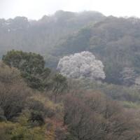 奥迫川の桜 ② 2017.04.08 「300」