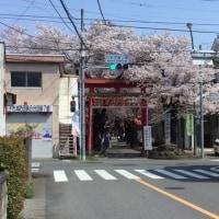 八幡神社の鳥居の桜が満開です!