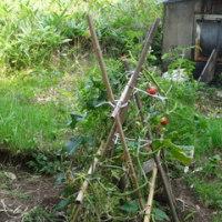 トマトは大収穫でした