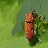 カツオゾウムシ / フキバッタの黒化型 / テントウムシ(蛹)