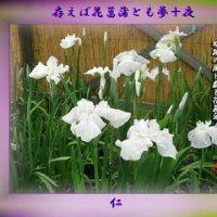 『 存えば花菖蒲とも夢十夜 』筑紫風575交心rt1501