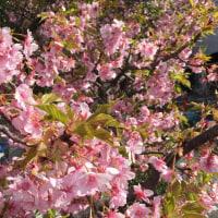河津桜 的 ご近所桜 濃厚ピンクカラーの満開の桜が咲いています♡