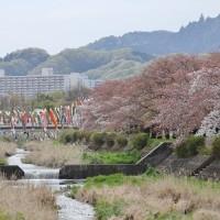 浅川では桜と鯉のぼりのコラボも!
