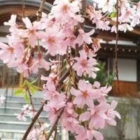楽翁開花状況 4月22日~散り始めの兆し~