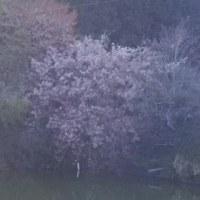 桜咲いチョル