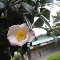 「十月桜」と「山茶花」