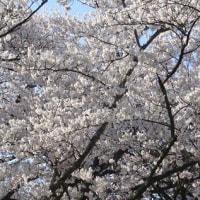 桜 桜 桜