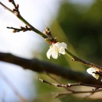 春を待ちきれず~(白梅)