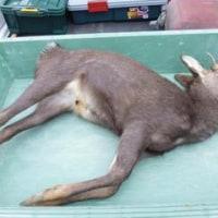 12月12日有害鳥獣捕獲「鹿」