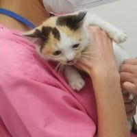 子猫のてんこちゃんワクチン済ませました