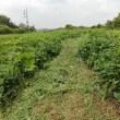 カボチャ畑の草と戦う