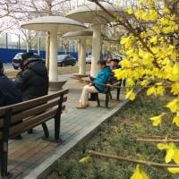 中国 次々天天 すっかり春、到来 大学構内の居住地でも