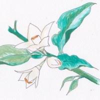 旺盛な新芽とアブラムシの発生
