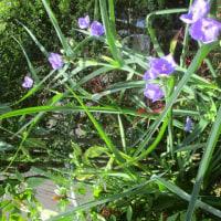 紫つゆ草咲く