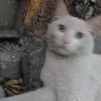 白猫「フリーダ」