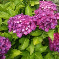 ◆今年は紫陽花が綺麗?