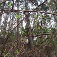 雑木林の春