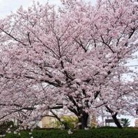 我が町の桜