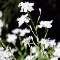 東山丘陵の山野草 2017.05.18 ④