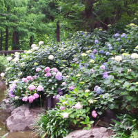 長居植物園のアジサイ園