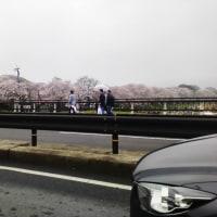 京都八幡 淀川沿いの堤防 桜 4月8日