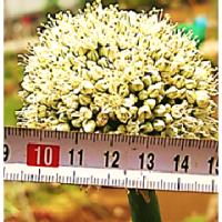 次年度 栽培用 ・・・ 今年 採種用 の 葱坊主 の 定点観測 - 3
