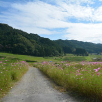 奈良・柳生阪原でコスモス祭りが