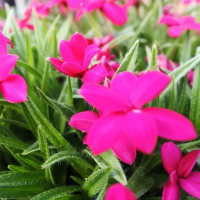 我が家を賑わす小さな花々