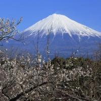 富士山 富士市の「梅 追い...」 ありがとうございました。 ☺