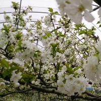 さくらんぼの花が咲き始めました!!!