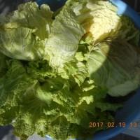 今日の収穫 キャベツ ハクサイ ブロッコリー ネギ ワケギ