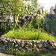 栃木県鹿沼市、今宮神社のケヤキは切られてしまっていました!!
