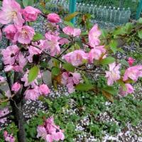 桜とお食事