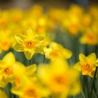 2017西洋スイセンが花開き春がきたよとラッパを鳴らす 3 (福岡市東区海の中道海浜公園)