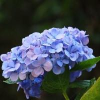 """""""終わらない夏""""四季咲きアジサイ~エンドレス・サマー"""
