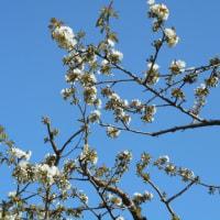 サクランボ開花