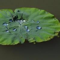 白いムラサキツメグサ / 植物誌