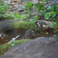 巣立ち後のシジュウカラ達