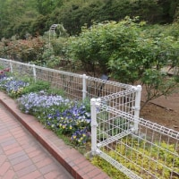 ボタンが見ごろです横浜「こども植物園」