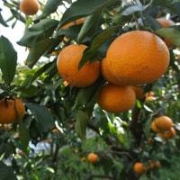 幸せな柑橘の風景