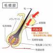 毛根部のバルジ領域に存在する2つの幹細胞とは?