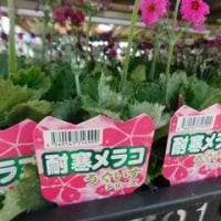 うぐいす + ごちゃごちゃ植え の初出荷 & 肥料焼け!?