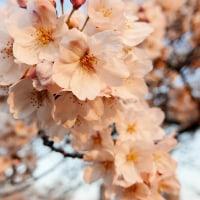 いつの間にか桜も・・・