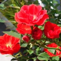 赤い小バラ