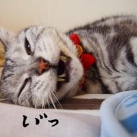 寝そべりながらの、ミルキーのあくび。