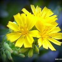平良幸春花の写真集 ☆ニガナの花 (*^_^*)
