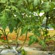 ジャングル状態のミニトマトも私も猛暑には負けた!
