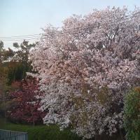 野々池貯水池の山桜
