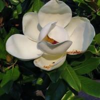 今年もあの巨大な花が!・・・タイサンボク