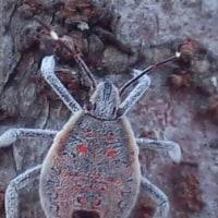 何がなんだか不思議な虫 誰も見ない小さな虫 並木の色とおんなじ色で 見えない風に見える虫    真鹿子(まかこ)